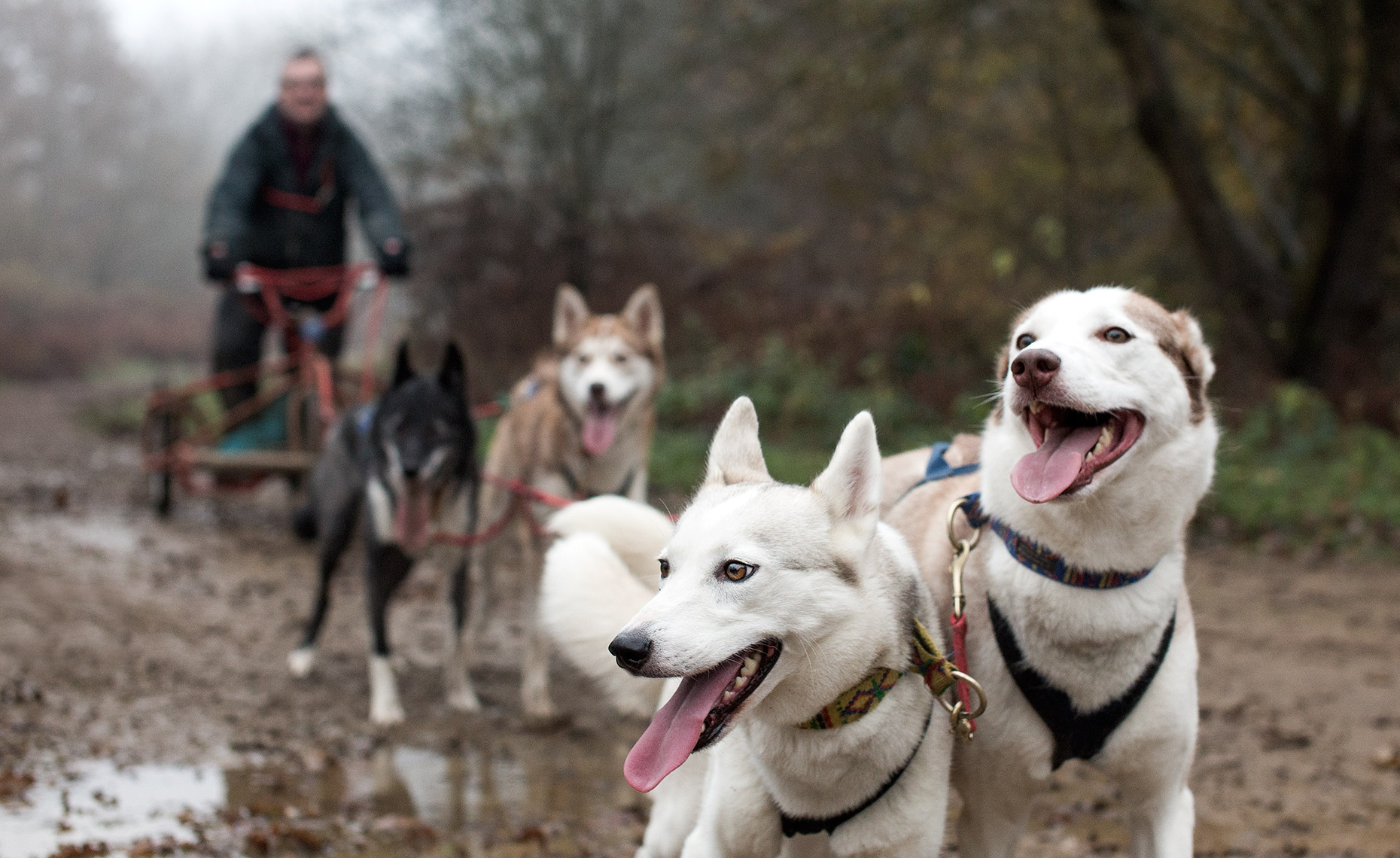 A team of Siberian Huskies photographed for a magazine feature on Sled Dog racing in Northamptonshire.